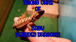 Baby Bearded Dragon Care Guide!