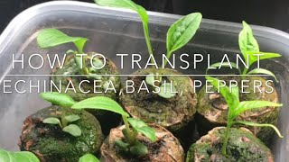 HOW TO: Transplant Echinacea | INDOOR GROWING |Starting Seeds For Outdoor Planting