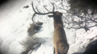 Giant 5x5 Bull Elk Sheds Antler while watching him! TU Tuesday Episode 75