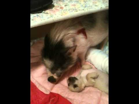 Pig Takes Care Of Abandoned Puppies