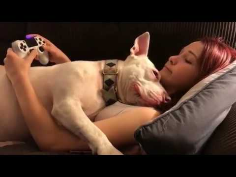 Download Pitbull interrupts a girl playing Playstation | Dogs are Cute | HD Mp4 3GP Video and MP3