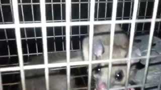 preview picture of video 'Trapped edible fat dormouse ( Glis Glis )'