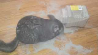 Chinchilla and not a care in the World.