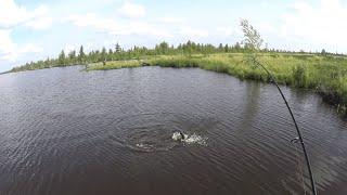 Ямальские озера богаты и щедры на рыбу,попали на раздачу окуня и щуки.рыбалка на спиннинг в августе.