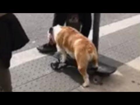 Skateboarding bulldog impresses spectators in Lisbon