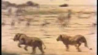 Male lions hunting