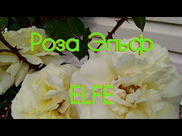 Роза Эльф в моём саду