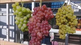 Выставка винограда в Аптекарском огороде 23 сентября 2017 года