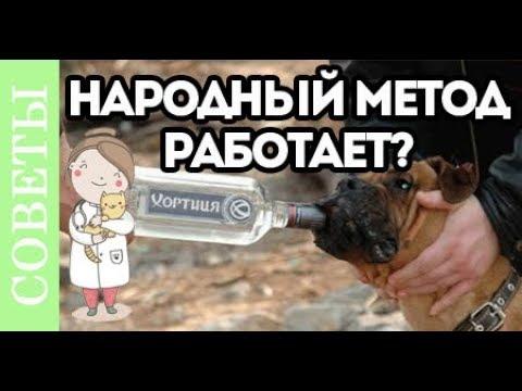 Можно ли лечить собаку водкой? Народный метод.