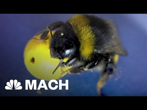 Trained Bumble Bees Are Like Tiny Soccer Players | Mach | NBC News