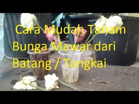 Video Cara Mudah Tanam Bunga Mawar dari Batang / Tangkai