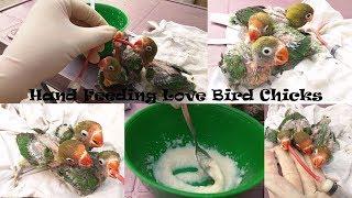 Hand Feeding Love Bird Chicks | Fisher Baby Hand Feed | Urdu / Hindi