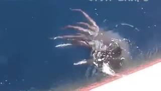 Гигантский кальмар вступил в схватку с российскими рыбаками   24 Июля 2015