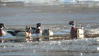 Wood Ducks a Courting