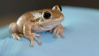 How to genetically modify frogs