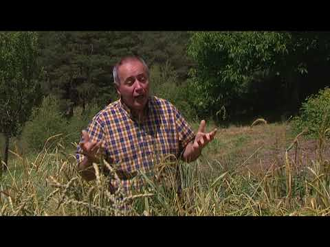 Gilles Mailhé: Des blés anciens aux blés modernes, changements dans le gluten