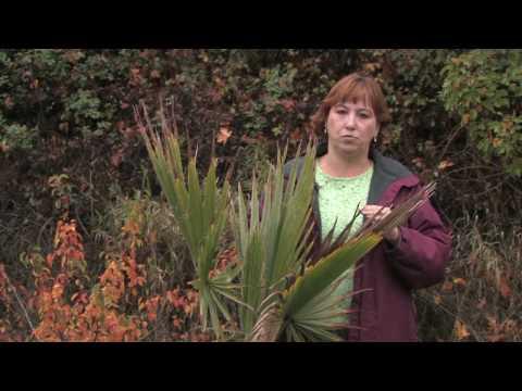 Momya sa paggamot ng kuko halamang-singaw