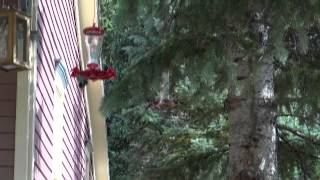 Hummingbirds squabbling over feeders
