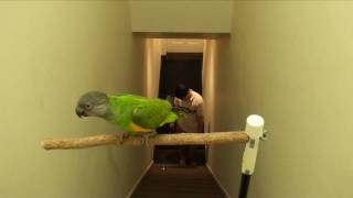 Kili Senegal Parrot - Ascents and Descents Flight Training Parrot On Staircase