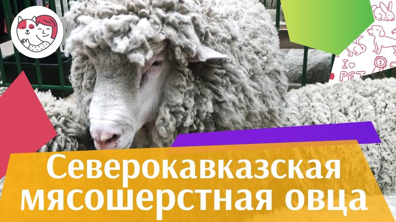 Северокавказская мясошерстная овца на ilikepet
