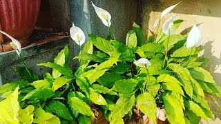 How To Take Care Of Peace Lily | Complete Spathiphyllum Care Tips || Grow Peace Lily