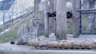 Lynx funny animals Рысь в зоопарке