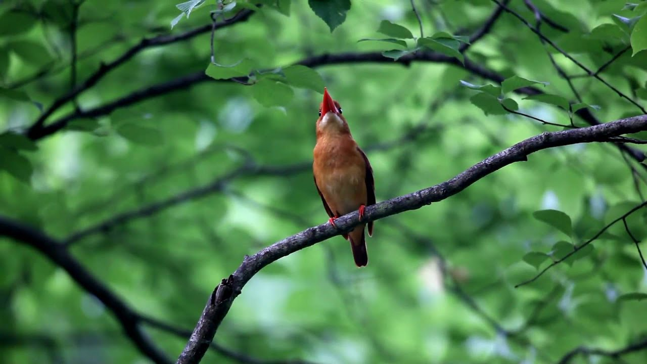 Ruddy Kingfisher - Halycon Coromanda