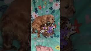 American Cocker Spaniel Puppies Videos