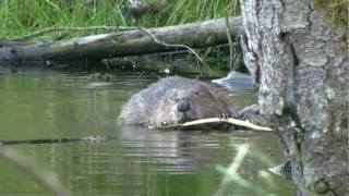 preview picture of video 'Biber Paradies, Beaver paradies (von Hermann Popp)'