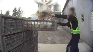 Efter dyremishandling: Landbrugsfolk tvinges til at bære kameraer