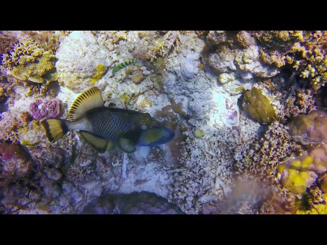 Apo Reef Dive March 2017 HD - Many sharks!