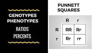 Genotype And Phenotype Ratios And Percents ( Punnett Square Basics)