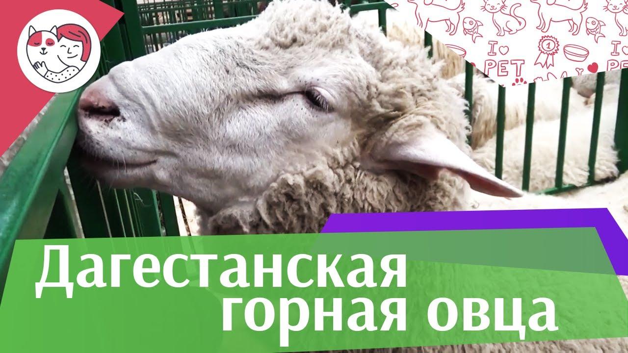 Дагестанская горная овца на ilikepet