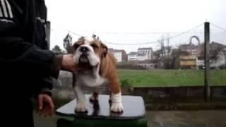 Trinidad and Tobago english bulldog..import from Spain DELEMAVOSBULLS MR. JAMES DEAN