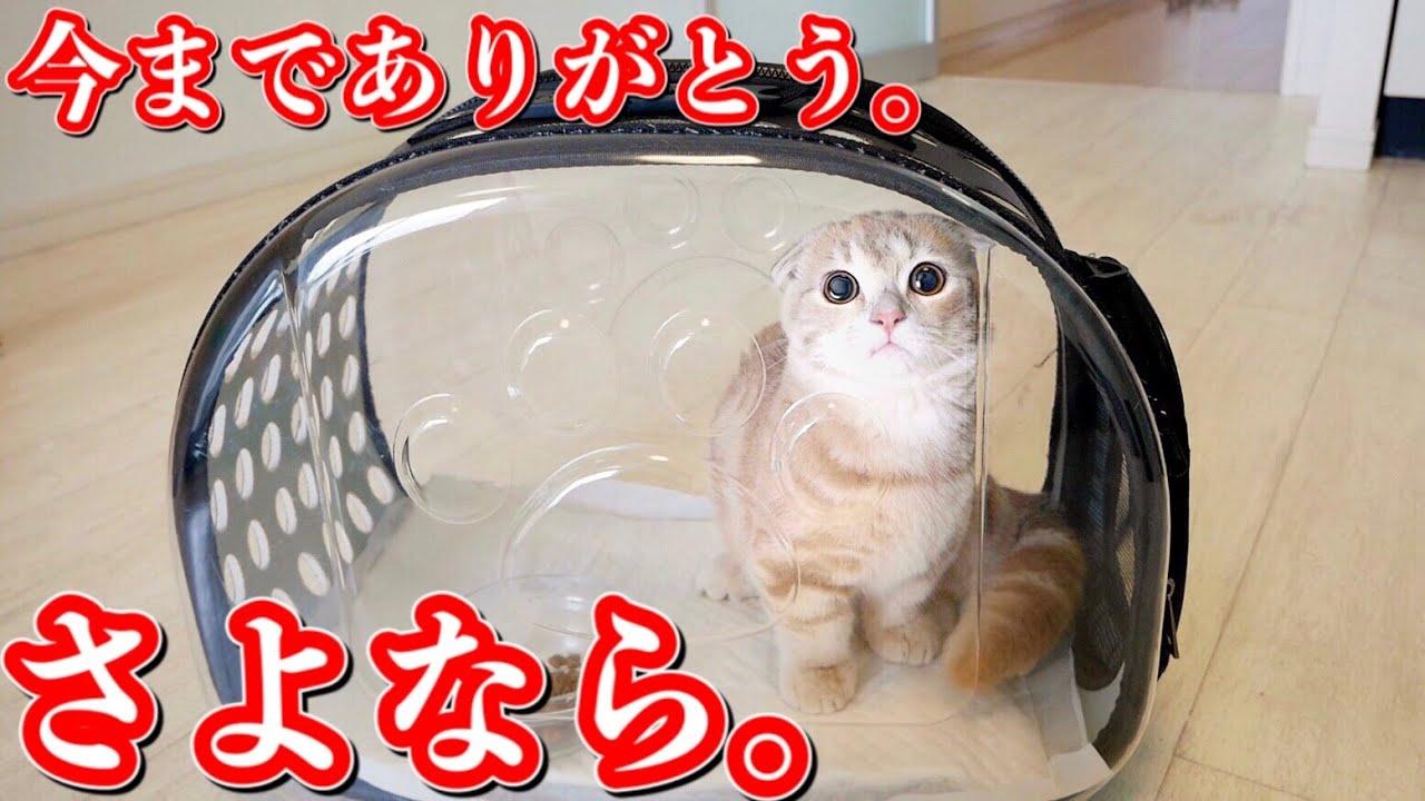 子猫たちがお世話になりました。【マンチカン】