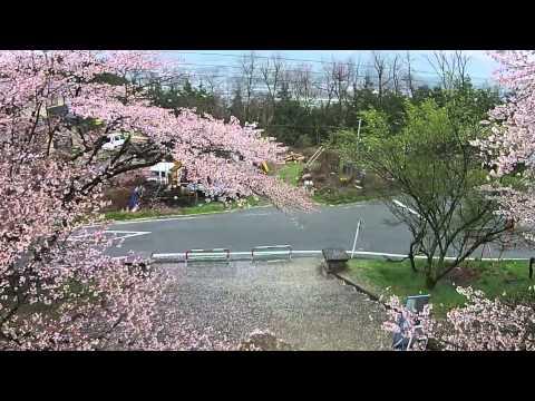 日本一の学校桜。高森南小学校2015年4月11日