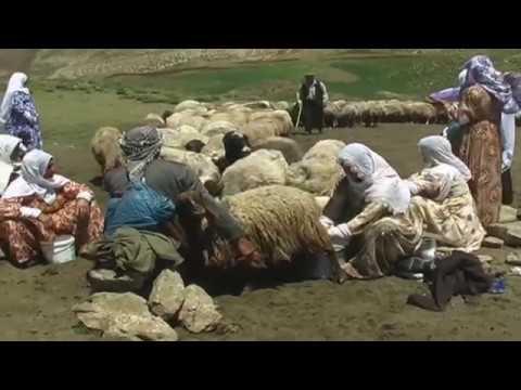 Çemikare Yaylası - Herekol Dağı Eteklerinde Süt Sağma
