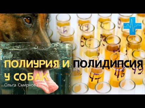 Полиурия и полидипсия у собак