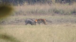 Tiger Attacks Wild Boar - Tadoba National Reserve
