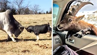 Ozzy Man Reviews: Goats
