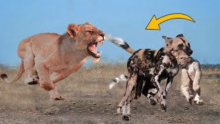 Wild Dogs Destroy Lion Cub! But The God can't help Wild Dog escape the power of Mother Lion