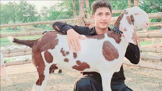 teddy goat farming in karachi - मुफ्त ऑनलाइन वीडियो