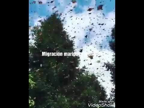 Migración mariposa monarca