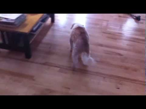 Video My dog, Petey, who is in the late stages of congestive heart failure
