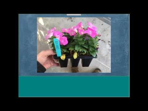 WEBINAR: Growing Petunias For Strong Retail Performance thumbnail