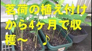 2018年3月と5月にミョウガ(茗荷) の 親株を植えたら 夏ミョウガ が生えて収穫間近い! 早くねー? プランター栽培凄いぞ!