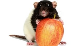 Why Rats Grind Their Teeth | Pet Rats