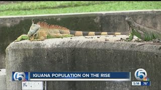 Iguana population on the rise