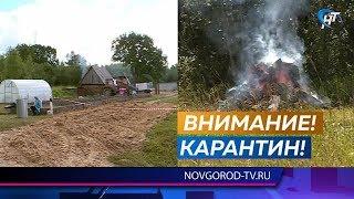 Африканская чума свиней вернулась в Новгородскую область