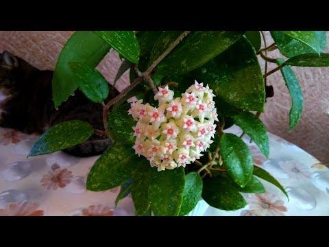 И снова цветет хойя Паразитика Лао